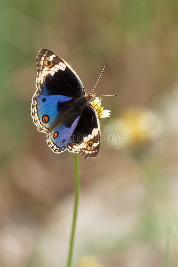 Free Junonia Orithya Wallacei (Blue Pansy) Male Stock Photos - 10727563