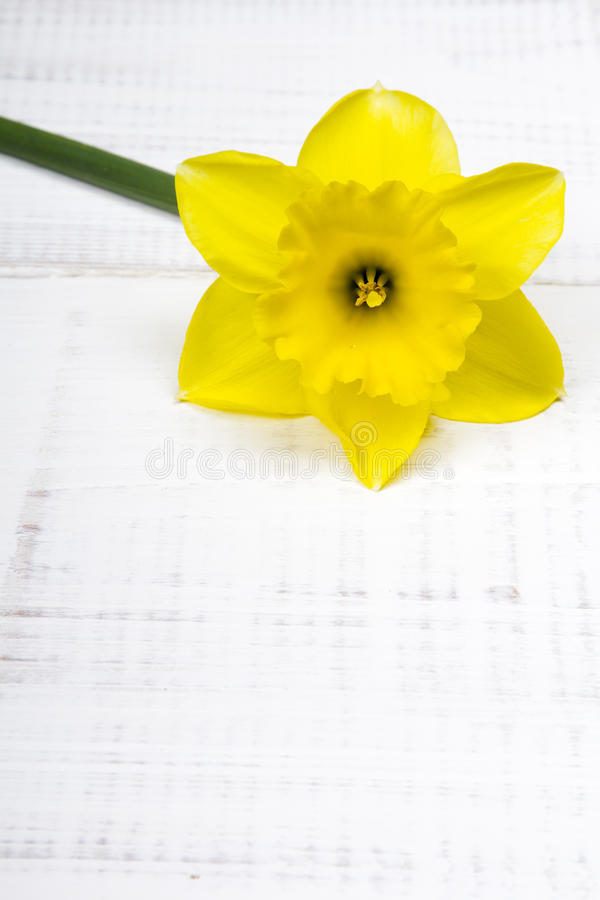 Junquillo amarillo foto de archivo