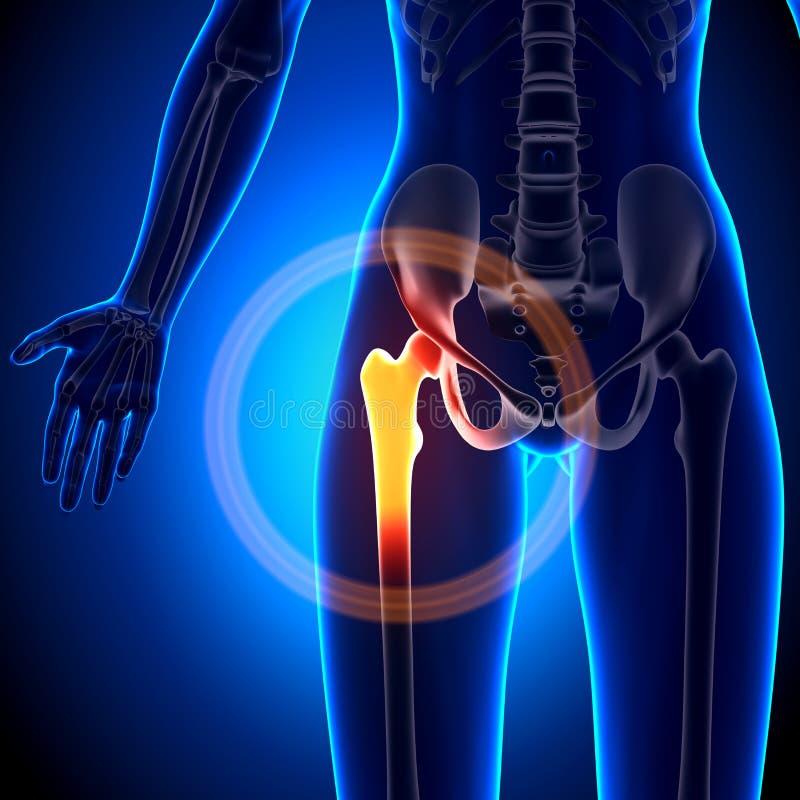 Junta De Cadera Femenina - Huesos De La Anatomía Stock de ...