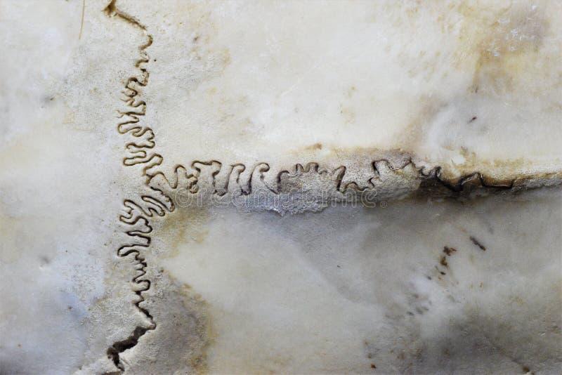 Junta de los ciervos de la sutura del hueso del cráneo imágenes de archivo libres de regalías