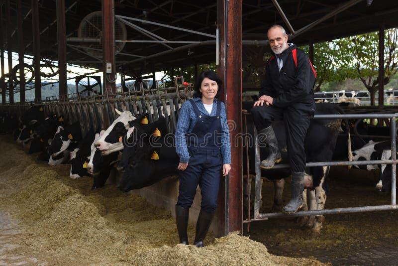 Junte al granjero con las vacas foto de archivo