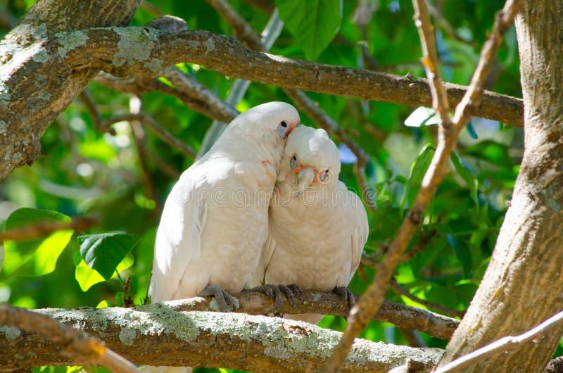Junte la cacatúa que los pájaros con el momento romántico en el árbol en las Brighton-Le-arenas parquean, Sydney, Australia de Ta foto de archivo