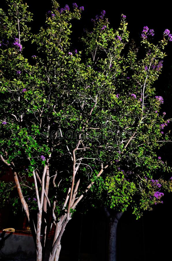 Jupiter. Lagerstroemia indica (crape myrtle, crepe myrtle) is a species in the genus Lagerstroemia in the family Lythraceae. From China, Korea, Japan and Indian stock image