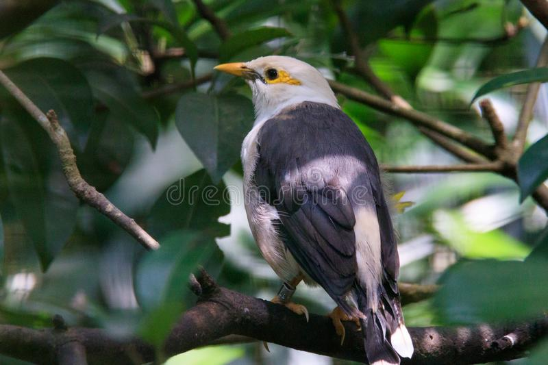Grey black yellow Pigeon on a branch stock image