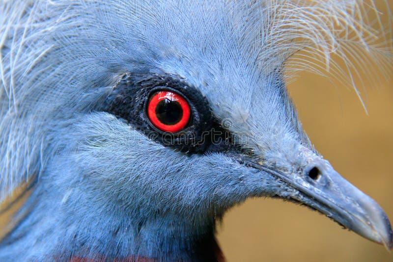 Scheepmaker`s crowned pigeon stock images