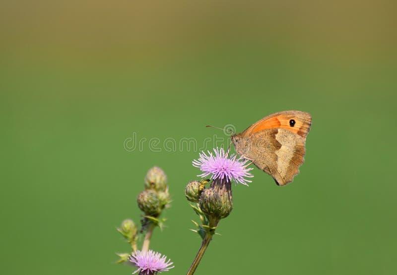 Jurtina de Maniola de la mariposa de Brown del prado un cardo foto de archivo