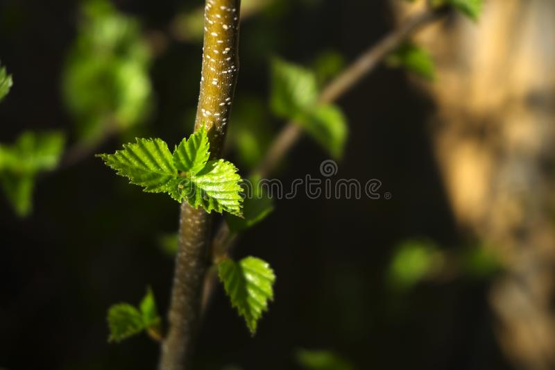 Just blossomed spring leaves stock photos