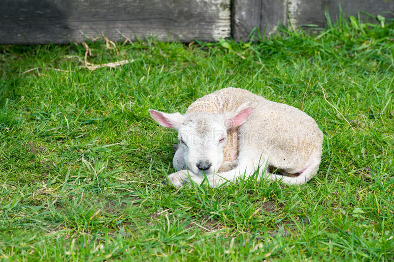Download Just born lamb stock photo. Image of farmanimal, farm - 28666530