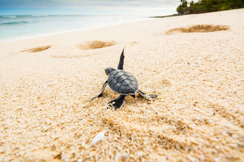 Little turtle goes towards the sea stock photos