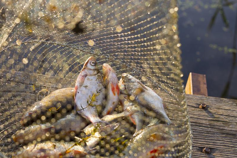Just catched rifer fish in the sunlight royalty free stock photos