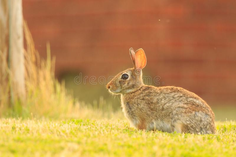 Just Cuteness. Just a ADORABLE rabbit sitting in some grass just off the side of a road in the Bald Knob Wildlife Refuge located in Bald Knob, Arkansas 2017 stock photography