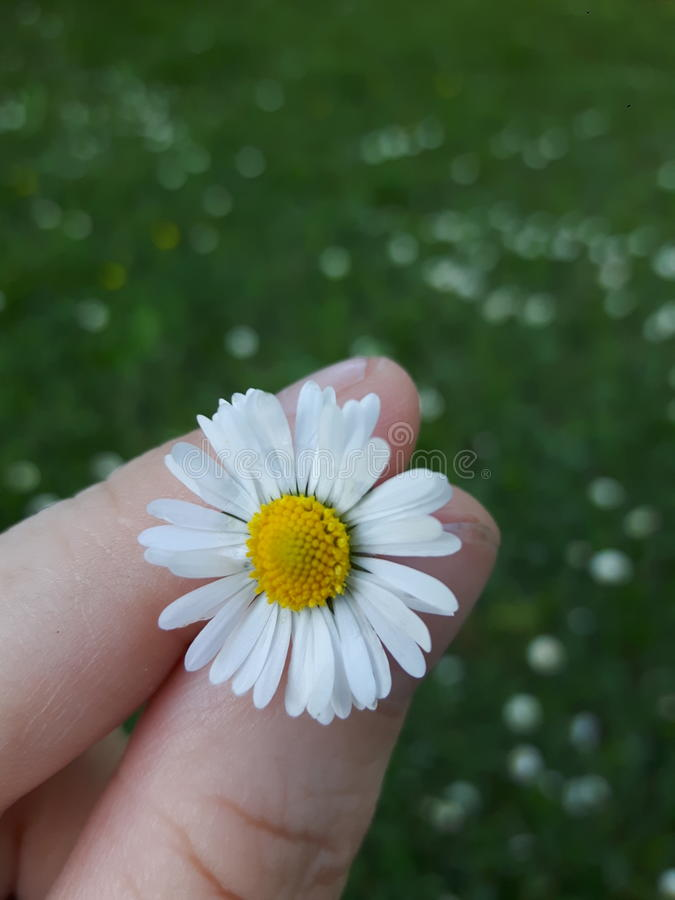 Just a daisy royalty free stock images