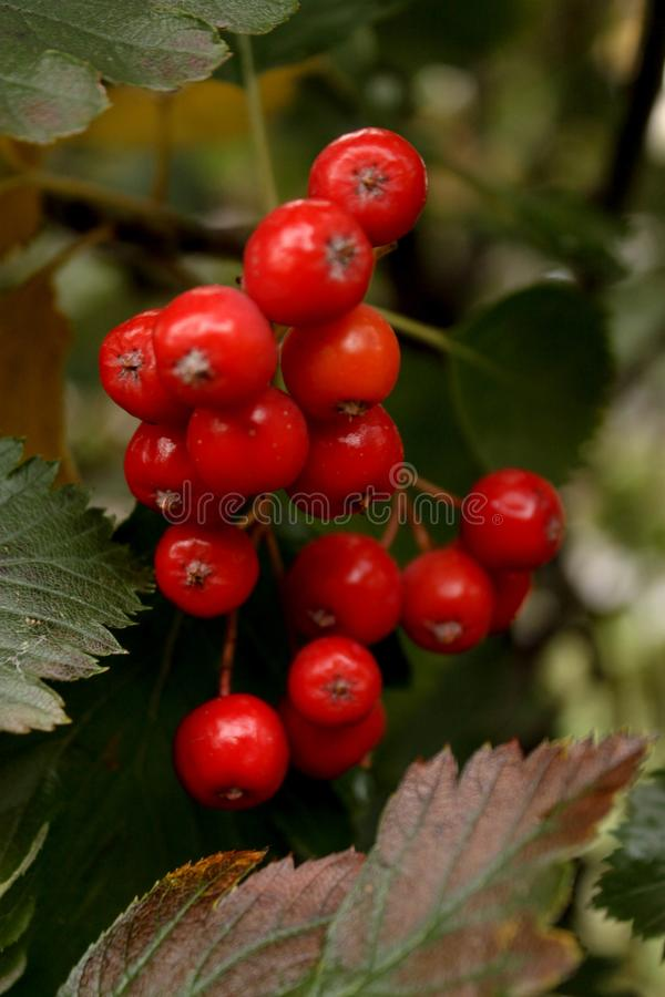 WOW! So nice red berries stock image