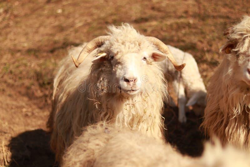 Finally a happy sheep. Still happy. royalty free stock photos