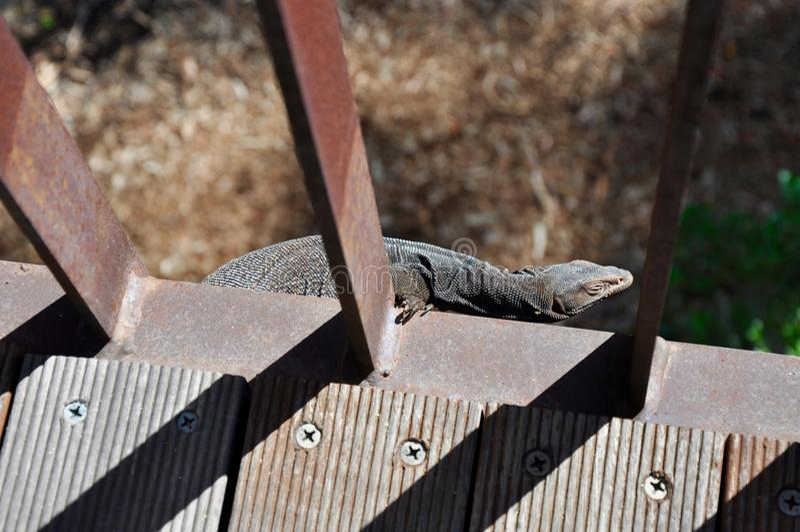 Just Hanging Around: Lizard on Bridge, Australia stock photography