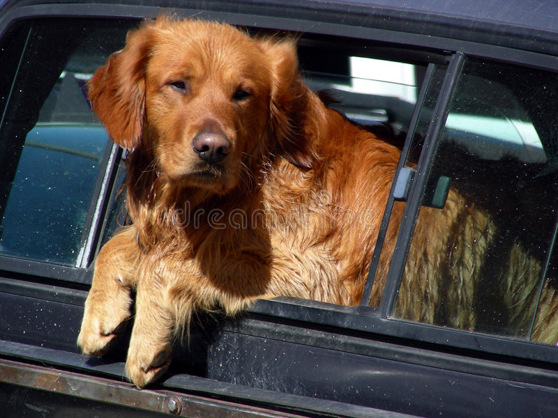 Just Hanging Out. Golden Retriever mixed breed hanging out of the back window of a pickup truck stock photo