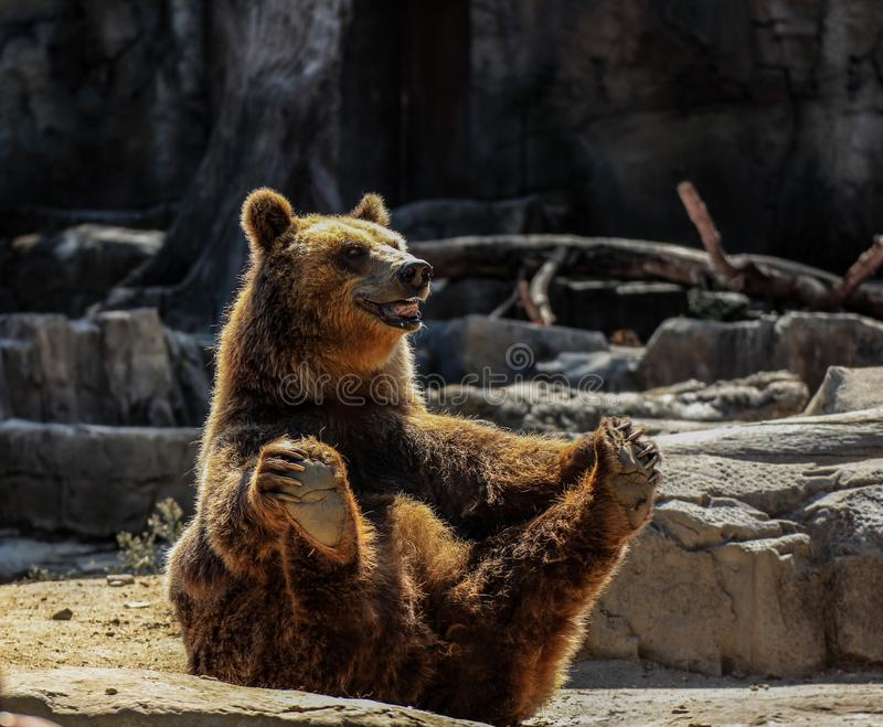 Just a Happy Bear. Random bear in a zoo in Madrid, Spain. Waiting for food and giving a free show royalty free stock image