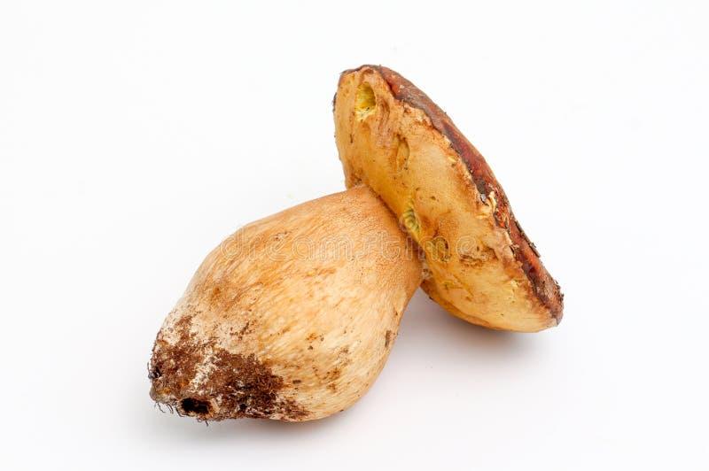 Just harvested mushrooms . boletus edulis. Picture of a just harvested mushrooms . boletus edulis stock image