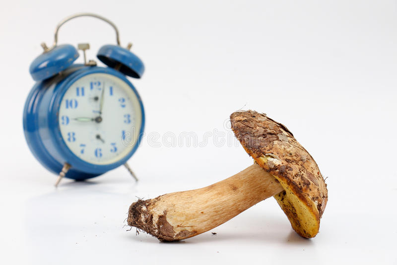 Just harvested mushrooms . boletus edulis. Picture of a just harvested mushrooms . boletus edulis in front of blue alarm clock. healthy food concept royalty free stock image