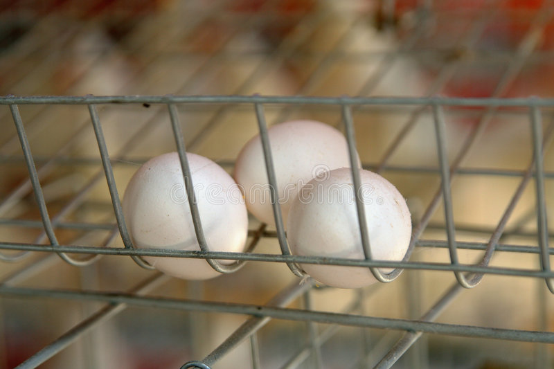 Just-laid eggs. Eggs fresh from the poultry farm stock photo
