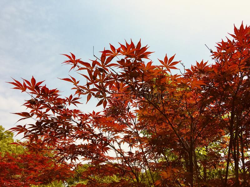 Just like maple leaf red sky royalty free stock photo