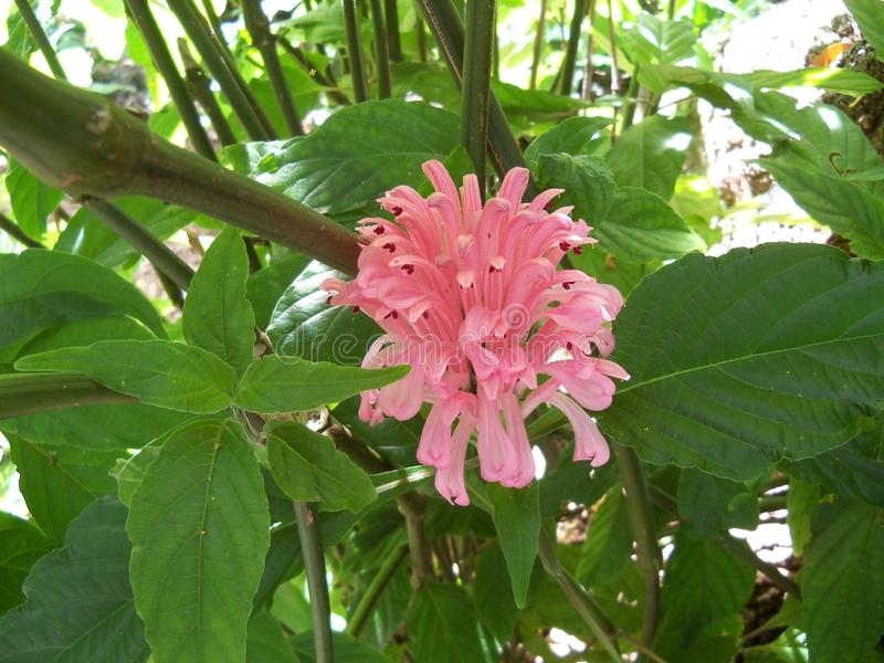 Beautiful pink Brazilian Plume Flower. Just one of many on this plant of the beautiful pink Brazilian Plume Flower, or the Justicia Carnea royalty free stock photography