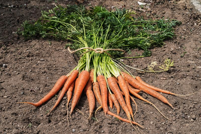 Just picked orange carrots. Top view of unwashed, and just picked orange carrots on a soil stock photo