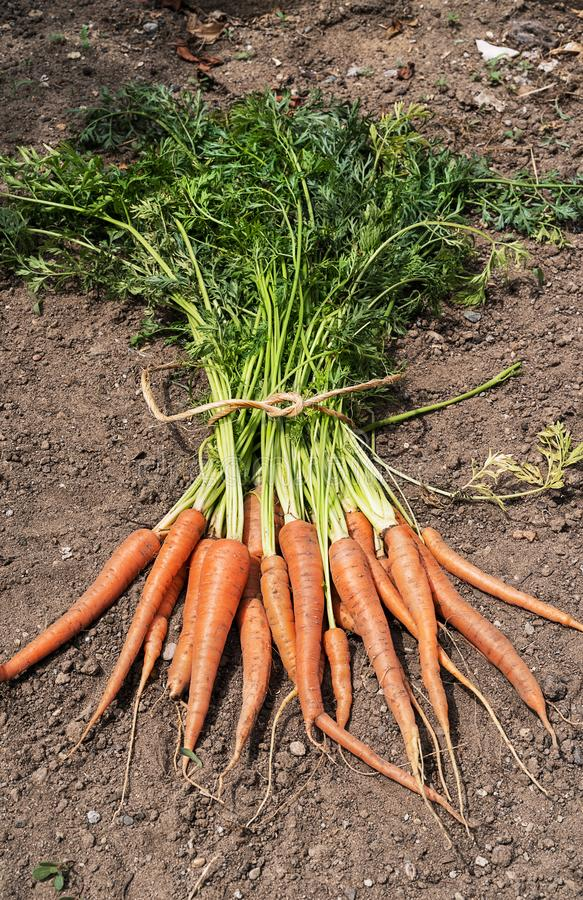 Just picked orange carrots. Top view of unwashed, and just picked orange carrots on a soil royalty free stock images