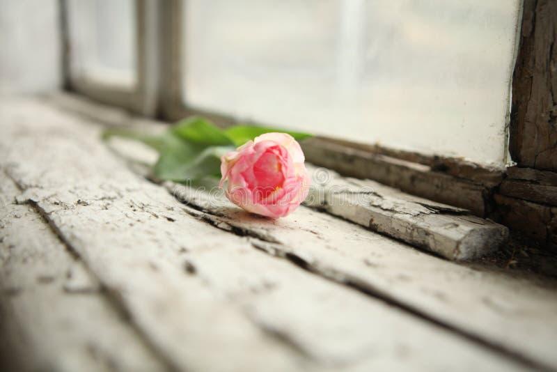 just rained Предпосылка дня ` s матери Розовый тюльпан на деревянной предпосылке стоковые изображения rf