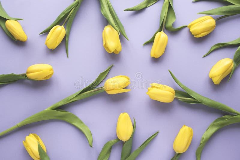 just rained Κίτρινα λουλούδια τουλιπών στο πορφυρό υπόβαθρο Επίπεδος βάλτε, τοπ άποψη Ελάχιστη floral χλεύη επάνω στην έννοια στοκ φωτογραφία