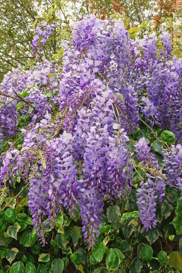 just rained Όμορφος κλάδος του wisteria άνθισης στοκ εικόνες