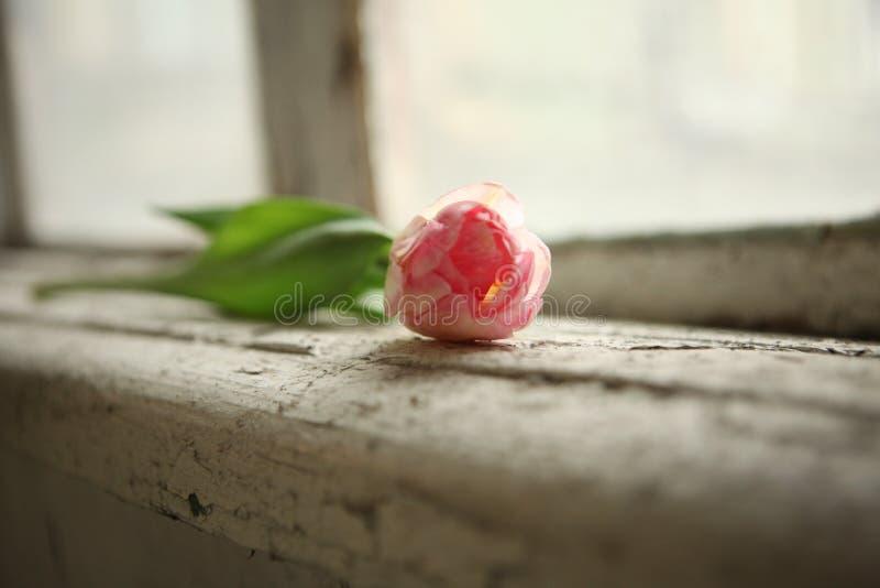 just rained Розовый тюльпан на старом windowsill Открытка на день Валентайн, день женщин и День матери стоковые изображения