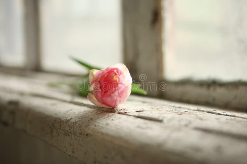 just rained Розовый тюльпан на старом windowsill Открытка на день Валентайн, день женщин и День матери стоковые фото