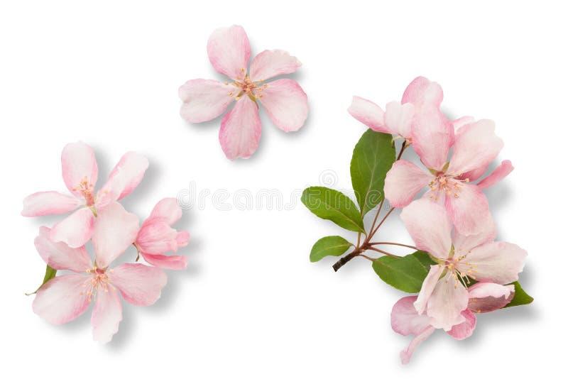 just rained Цветение яблони при листья зеленого цвета изолированные на белой предпосылке стоковые изображения rf