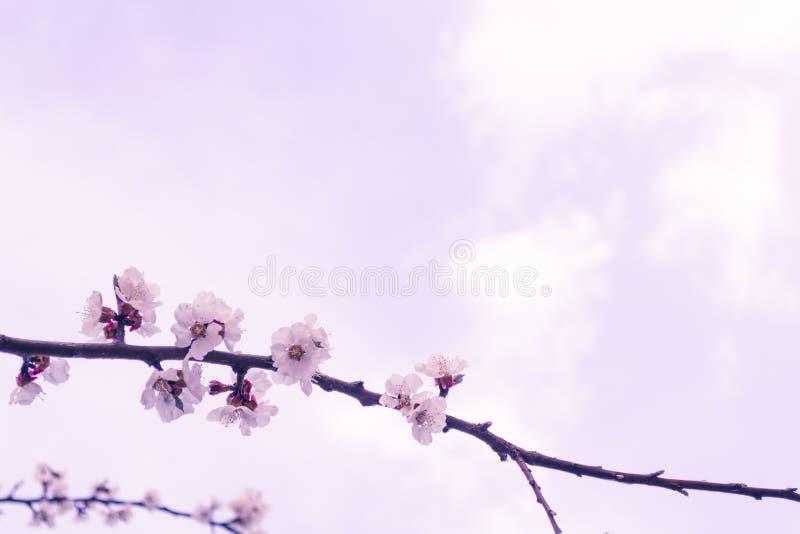 just rained Blomstra filialen för körsbärsrött träd med blommor Saku royaltyfri bild