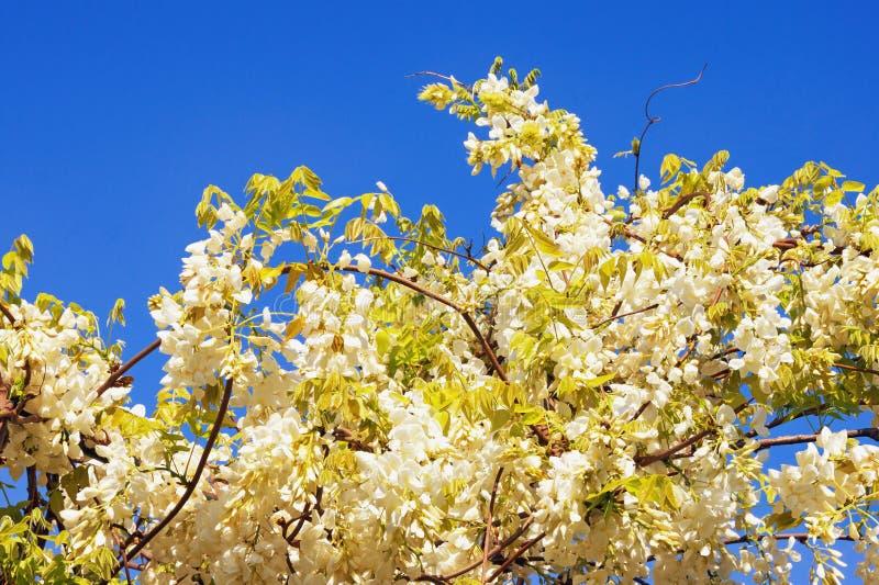 just rained Vinranka av den blommande vita wisteriaen mot blå himmel royaltyfria foton