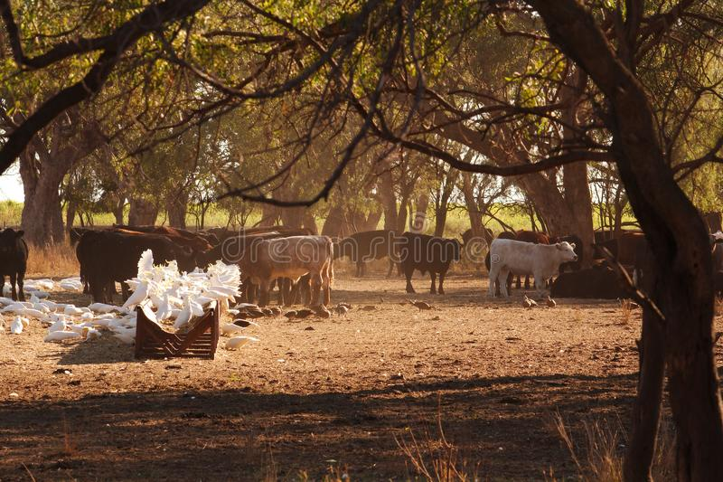 Cockatoos & ducks gather to feed off the hay fed to the cattle. royalty free stock images