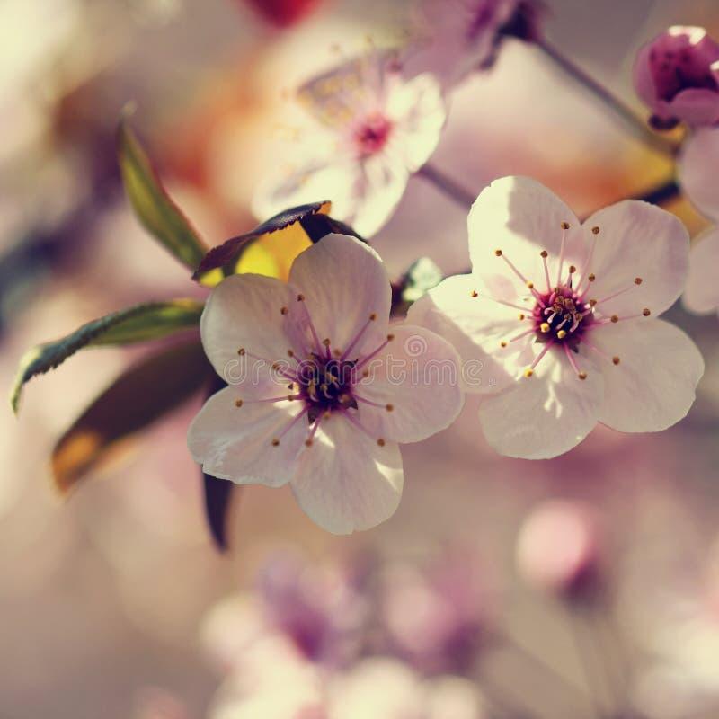Juste plu en fonction Branche d'arbre se développante admirablement Cerise japonaise - Sakura et soleil avec un fond coloré natur photographie stock