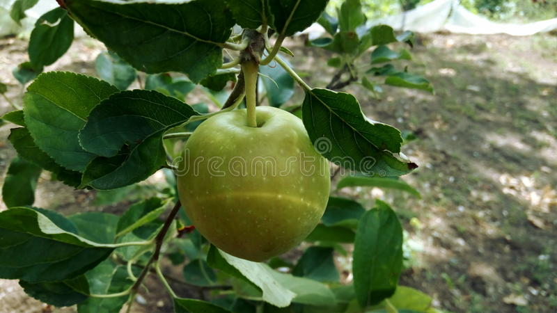 Juste pomme photographie stock