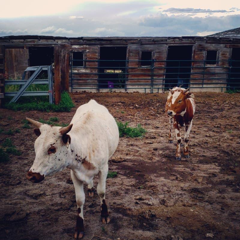 Juste traînant avec les bétail à Greeley le Colorado photos stock