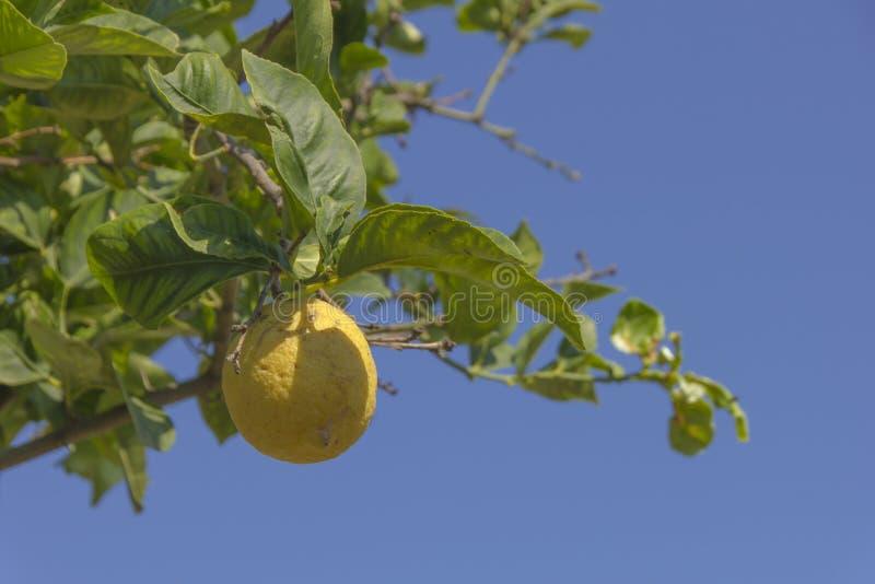 Juste un autre citron inchangé photo libre de droits