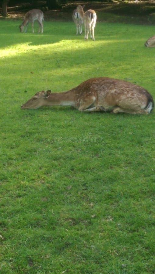 Juste un cerf commun paresseux image stock