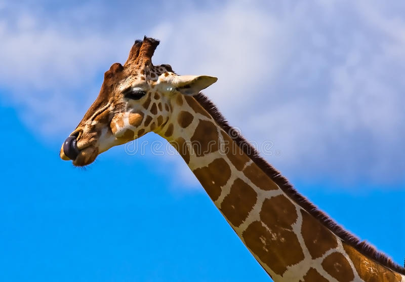 Juste une girafe idiote photo stock