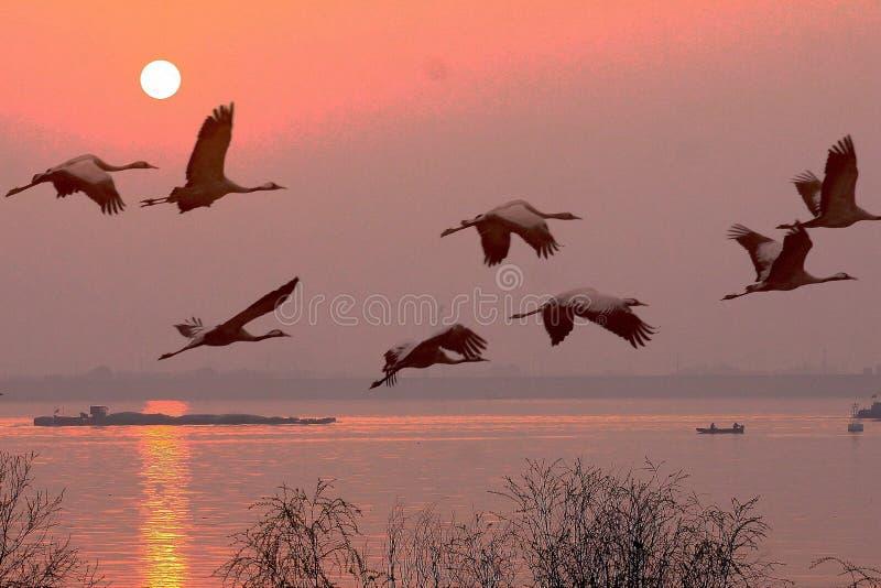 Jutrzenkowi żurawie latają qiantang rzekę fotografia stock