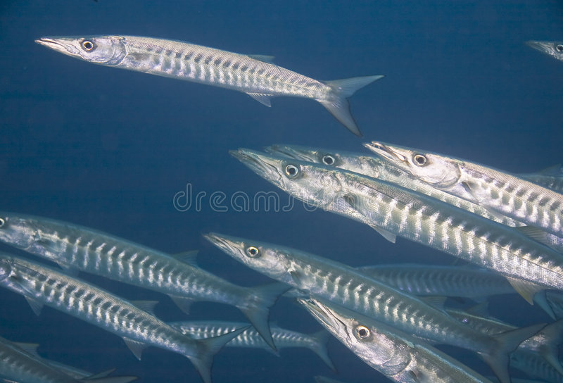 Juv del grande Barracuda. (Barracuda della sfirena) fotografia stock