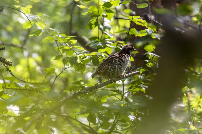 Juvenile hazel grouse Tetrastes bonasiaon a twig. With green leaves, picture from Northern Sweden stock images