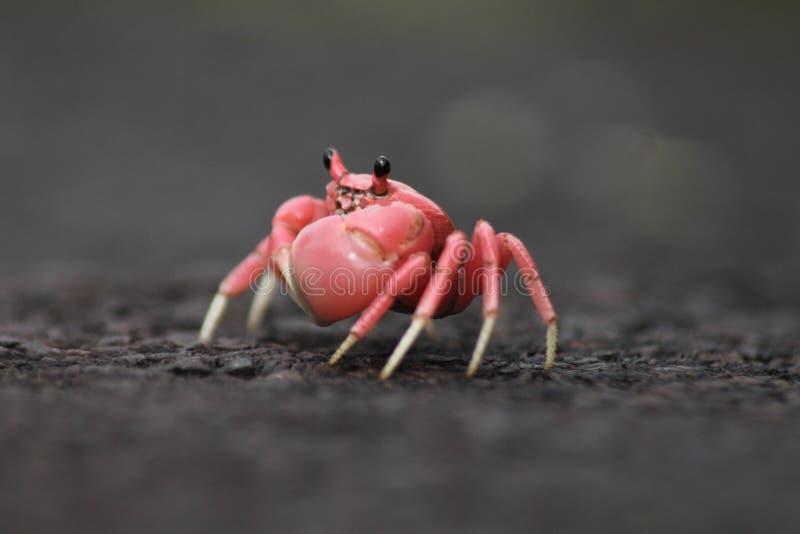 Juvenil do caranguejo de terra imagem de stock royalty free
