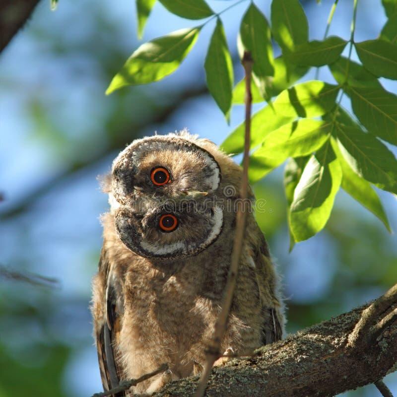 Juvenil do otus do Asio na árvore imagens de stock royalty free
