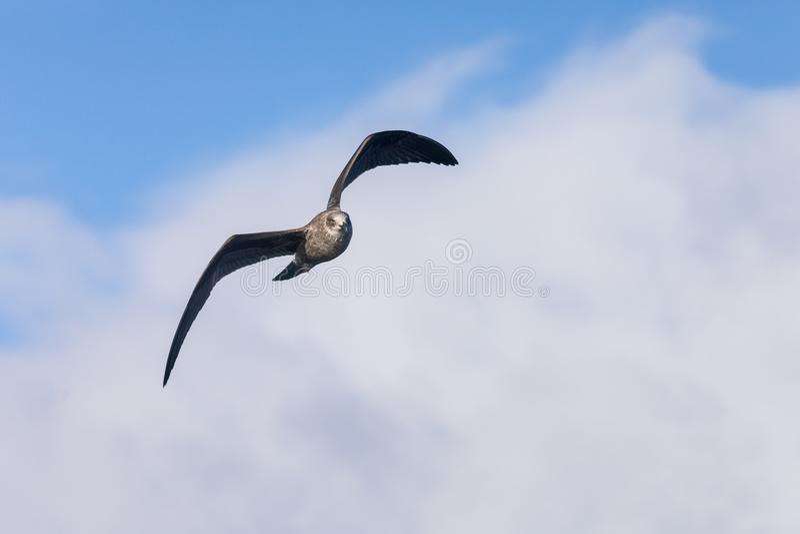 Juvenil do sul de voo do petrel gigante fotos de stock