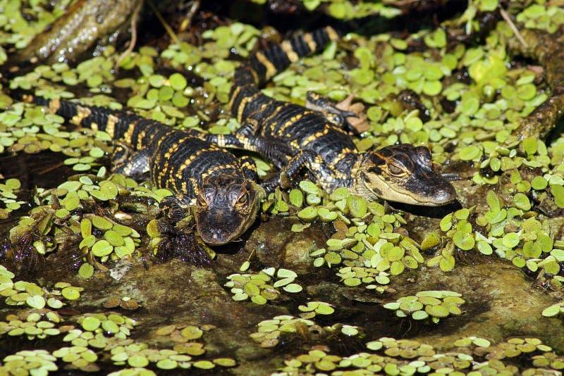 juvenile аллигаторов американский стоковое фото